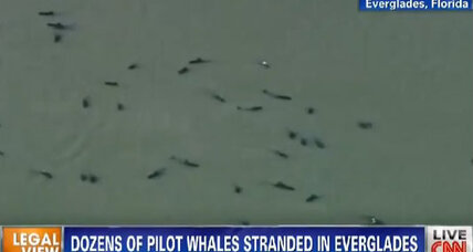 About 40 whales trapped in Florida's Everglades National Park (+video)