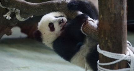 Panda cub debut adds cuddly moment to China-Taiwan ties