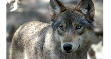 Meat-eaters versus carnivores: Is your diet killing wolves?