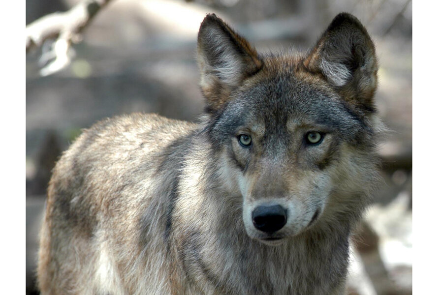 Meat Eaters Versus Carnivores Is Your Diet Killing Wolves