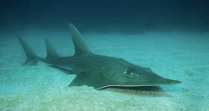A quarter of world's sharks and rays at risk of extinction, say scientists