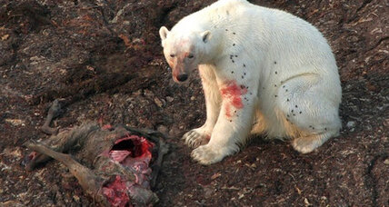 As Arctic ice melts, polar bears learn to live off the land