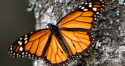 Is the annual Monarch butterfly migration coming to an end?