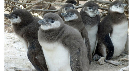 Climate change putting penguin chicks at risk, scientists say