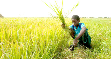 From human waste to fertilizer to fuel: rice yields green charcoal in Senegal