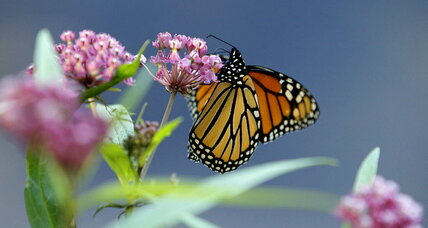 Bye-bye, butterfly? How you can fight the Monarch die-off