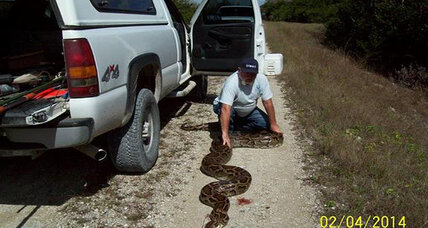 Humongous Burmese Python shot, killed in Florida (+video)