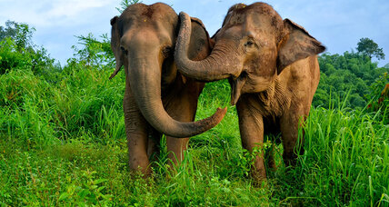 What is an elephant handshake? (+video)