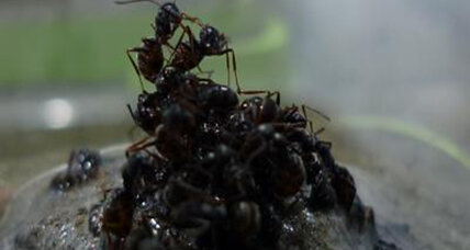 Apparently, ants build rafts. Out of their babies.