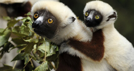 Can we stop the lemur from going extinct?