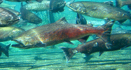 Salmon are born with a migration route pre-installed, say scientists