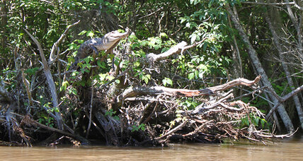 Wait, crocodiles can climb trees now?!