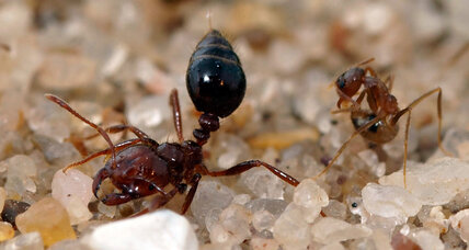 Why 'crazy ants' can hold their own in fights with notorious fire ants
