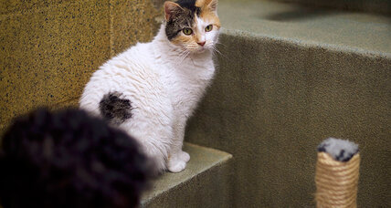 Why do calico cats look so funky? Geneticists explain.