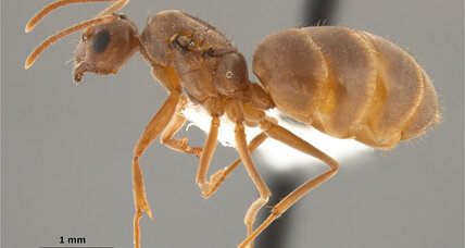 Exactly how much force does it take to rip an ant's head off? New research offers clues.