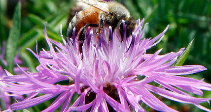 Not just honeybees: Affliction may be spreading to bumblebees, scientists say (+video)