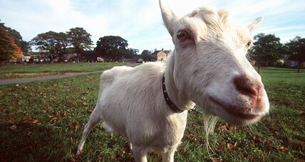 Goat hair pheromone puts female goats in the mood, say goat-arousal experts