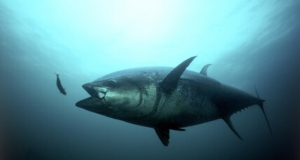 Oil spills can stop tuna hearts, say scientists
