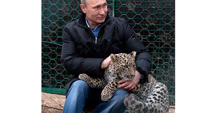 Sochi Olympics: Vladimir Putin enters cage with Persian leopards