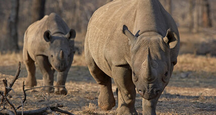 Should rhinos be 'farmed' for their horns?