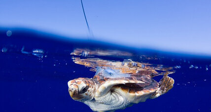 Biologists peer into the secret lives of sea turtles (+video)