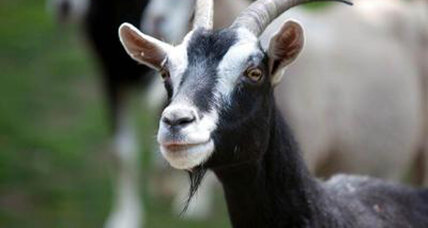Goats are not as dumb as you think, say scientists