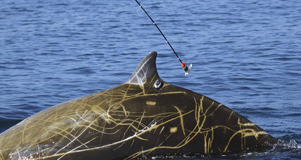 Whale sets deep-dive record for mammals