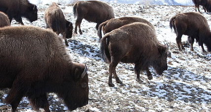 Yellowstone bison OK'd to start new herds outside park