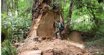 Why redwood burl poaching is so destructive