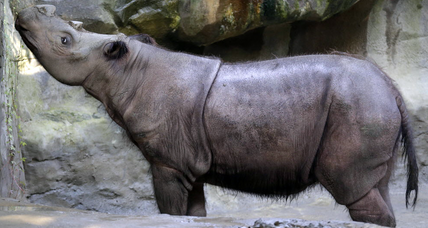 Sumatran rhino dies at Ohio zoo, only nine remain alive in captivity
