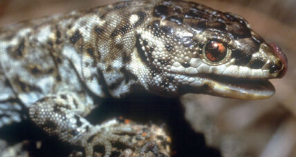 Island night lizard: Another protected species back from the brink