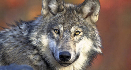 California gray wolf decision delayed. Should it be protected? (+video)