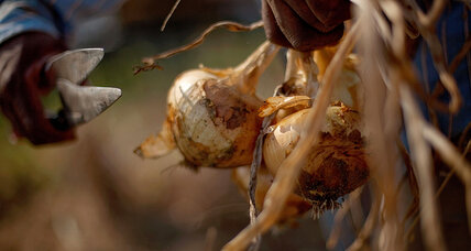 Vidalia onion rule: Ga. judge won't stop new regulation