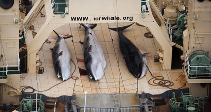 Is this the end of Japanese whaling?