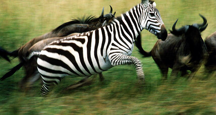 Why do zebras have stripes? New research offers answer. (+video)