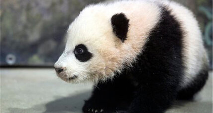 Bao Bao's big day: Baby panda Bao Bao ventures outside at the National Zoo