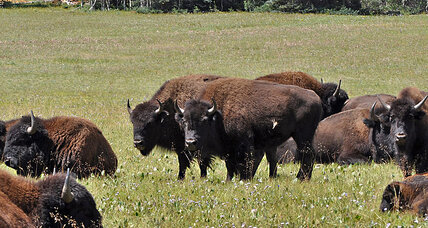 Grand Canyon: Bison hybrids trampling park lands, sacred sites