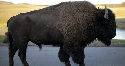 Yellowstone volcano about to erupt? No, bison are just 'frisky,' say scientists.