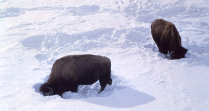 Yellowstone bison fleeing impending supervolcano? No.