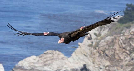 Long-struggling California condor may soar again