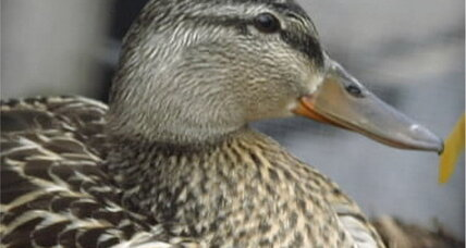 Pet duck attack prompts $275,000 lawsuit