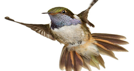 Hummingbird speciation really hummed, say scientists