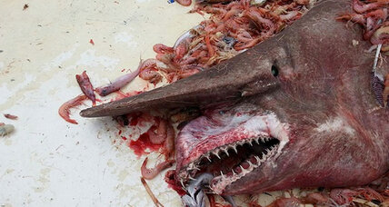 'Goblin shark' caught: Shrimp fisherman nabs rare shark (+video)