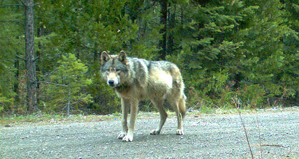Famed wandering wolf may have found love, say wildlife officials