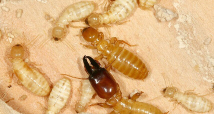 Scientists unravel termite's genetic code. What did they learn?