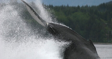 Humpback whales could actually be three distinct subspecies, say scientists