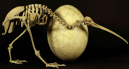 How did flightless birds evolve? Kiwi DNA offers clues.
