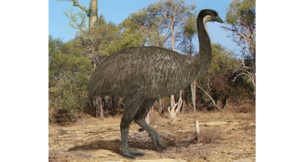 Bird DNA linked: How did flightless birds evolve? Scientists unravel mystery.