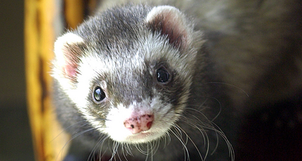 New York pro-ferret lobby rejoices: Don't lump us with even-toed ungulates