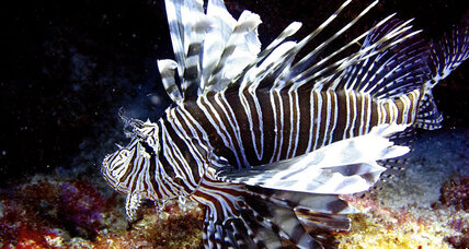 Stopping invasive lionfish? There's an app for that.